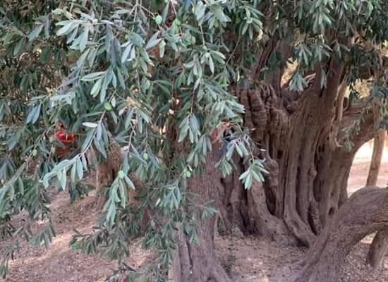 أكبر من الاحتلال.. أقدم شجرة زيتون فلسطينية عمرها ٥٠٠٠ عام